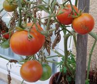 Ping Pong Pink Tomato