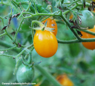 Golden Grape Tomato