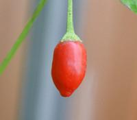 Inca Berry Pepper