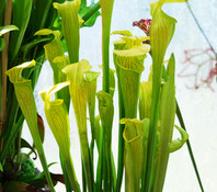 Sarracenia alata - Pale Pitcher Plant