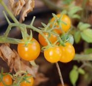 Ramito Dorado Tomato