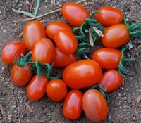 Jelly Bean Tomato