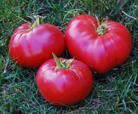 Mexico Tomato