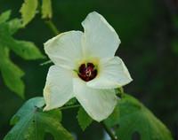 Hibiscus aculeatus - Pineland Hibiscus