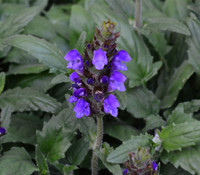 Prunella grandiflora - Big-Flowered Self Heal
