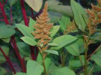 Amaranthus cruentus - Golden Giant Amaranth