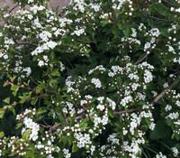 Crataegus oxyacantha - English Hawthorn