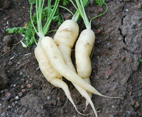 White Satin Carrot