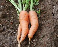 Muscade Carrot