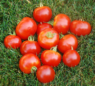 Northern Delight Tomato