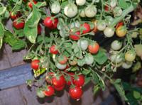 Garden Pearl Tomato