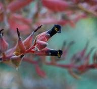 Puya micrantha -