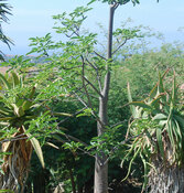 Adansonia za - Za Baobab