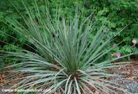 Yucca glauca - Soapweed Yucca