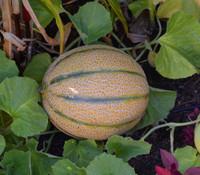 Arancino Melon