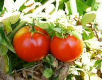 Brandywine Tomato, Red