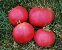 Pink Fuzzy Boar Tomato