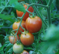 Pearly Pink Tomato