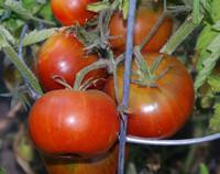 Black Burgundy Tomato