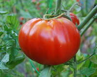 Starburst Tomato