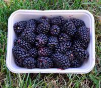 Rubus x - Olallieberry