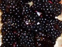 Rubus ursinus - Blackberry
