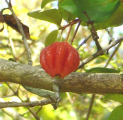 Eugenia uniflora - Surinam Cherry Large Fruit