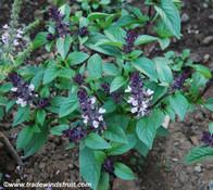 Ocimum basilicum - Christmas Basil