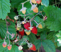 Fragaria vesca - Ali Baba Alpine Strawberry