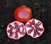 Punica granatum - Pomegranate 'Wonderful'