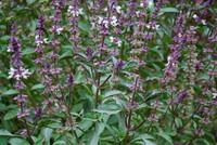 Ocimum basilicum - Basil, Ararat
