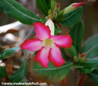 Adenium obesum - Desert Rose, mixed