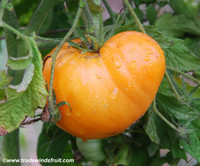 Aunt Gertie's Gold Tomato