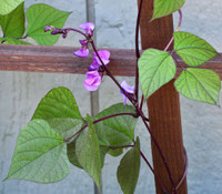 Hyacinth Bean, Red Leaved