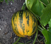 Kakai Hulless Pumpkin