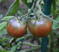 Russian Cossack Tomato