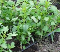 Porophyllum coloratum - Papalo