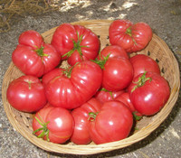 Oxheart Tomato, Red