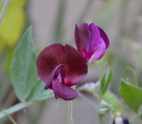 Lathyrus sativus - Sweet Pea, Royal Maroon