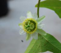 Passiflora biflora - Two Flowered Passion Flower
