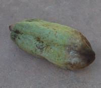 Theobroma angustifolium - Emerald Cacao