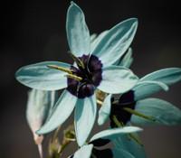 Ixia viridiflora - Turquoise Ixia