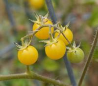 Bianca Cherry Tomato