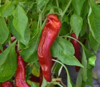 Curry Pepper