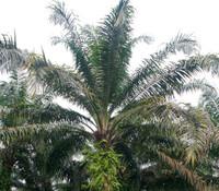 Elaeis guineensis - African Oil Palm