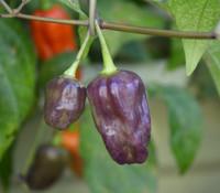Naga Purple Pepper
