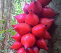 Baccaurea angulata - Belimbing Hutan