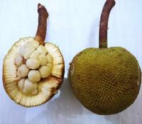 Artocarpus sarawakensis - Pingan