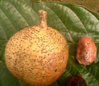 Mammea africana - African Mamey Apple
