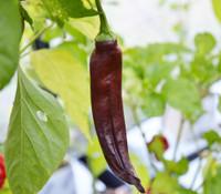 Negro de Valle Pepper